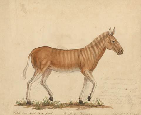 James Sowerbys portrait of a quagga, painted in 1824