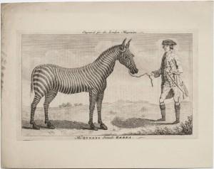 The Queens female zebra 1762 LWL